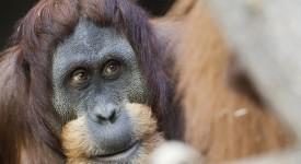 Smutek v pražské ZOO. Zemřel orangutan Padang