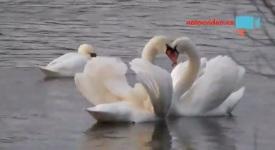 Video: Na Vltavě už začaly labutí námluvy. Podívejte se…