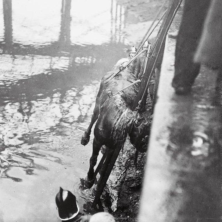 Na pásech a provazech se kůň vytáhl na náplavku. - Foto: archic prazskeho hasicskeho sboru