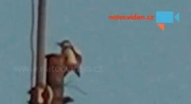 Budík na Barrandově – strakapoud buší do kovových trubek a budí nájemníky