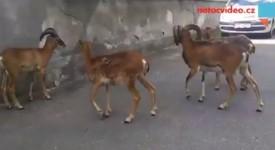 NEČEKANÁ NÁVŠTĚVA! Mufloni navštívili pavilon G2 v Thomayerce