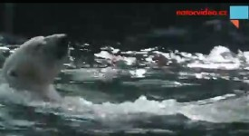To jste ještě neviděli. Lední medvěd v pražské ZOO plave záda