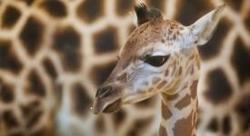 Žirafy v Praze už žijí 60 let