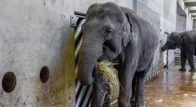 Skvělá zpráva ze zoo! Slonice Janita je březí