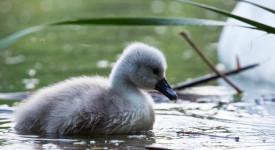 SLÁVA! V Záběhlicích se narodila labuťata a už se učí syčet na psy