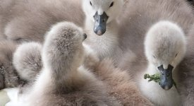 FOTOREPORTÁŽ: Jaro je tu! U Vltavy se vyklubala labuťata