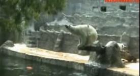 Lední medvěd skočil šipku do vody! Viděno v ZOO Praha!
