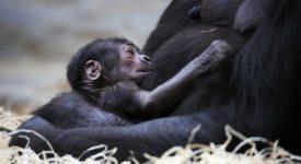 Stal se zázrak! Vpražské zoo se narodila malá gorila. Nikdo nic netušil