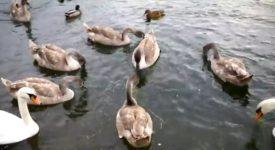 Labuťatům na Hamerském rybníce jsou už tři měsíce. Podívejte se, jak vyrostla