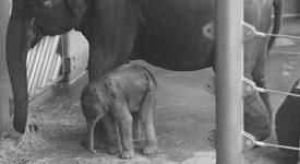 Kolik váží slůně a jak dlouho je slonice březí? Vše o novorozeném pražském slůněti