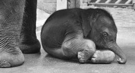 Pražskému slůněti už jsou dva dny. Ředitel zoo nás vzal do slonince. Podívejte se