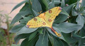 Jeden z největších motýlů světa se vylíhl ve skleníku Fata Morgana! Tohoto krasavce hned tak neuvidíte