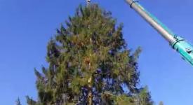 Vánoční strom pro Prahu měří 22 metrů. Smrk byl poražen v Roztokách a míří do Prahy
