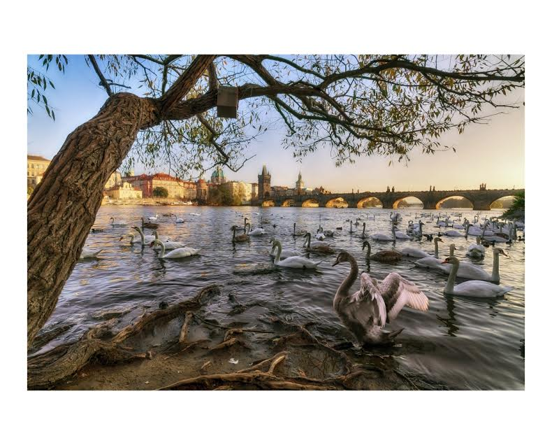Podzimní labutě -  Foto: Petr Turek