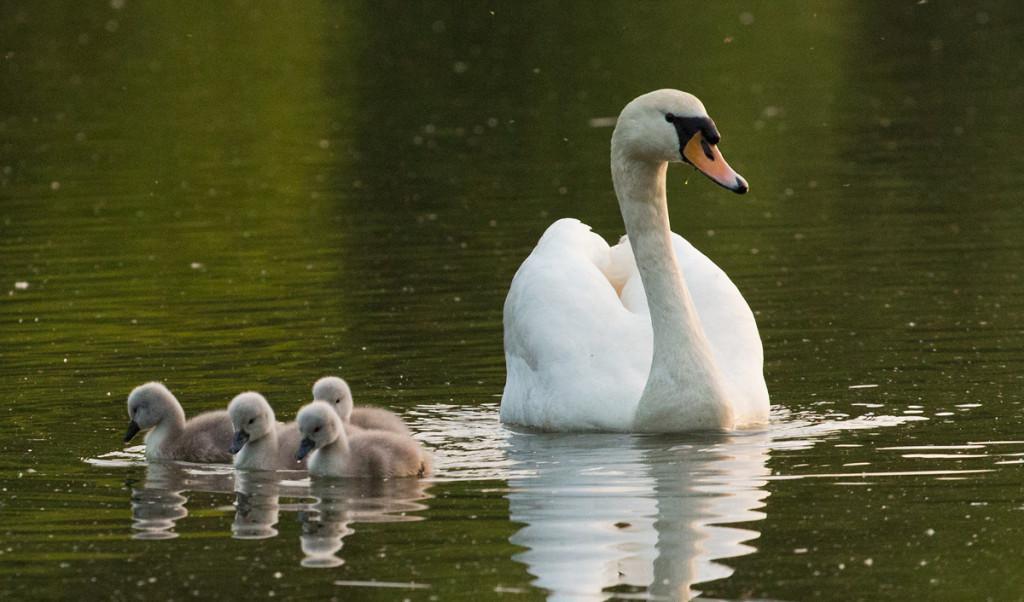Labuťat na Hamerském rybníku - Foto: Charlie Fotograf