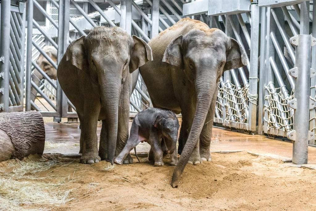 Malý sloní sameček se setkal i se svou tetou Tamarou. Má se čile k světu. - Foto. -ph- Zoo Praha