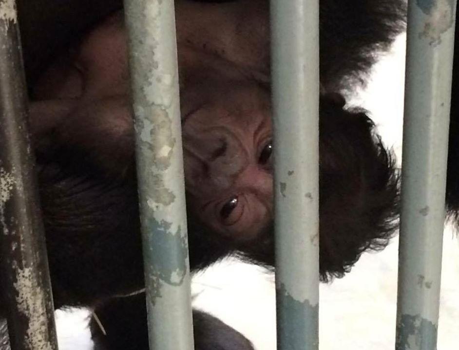 Úplně první fotografie malé gorilky, kterou na svůj mobilní telefon zachytil ošetřovatel David Váňa